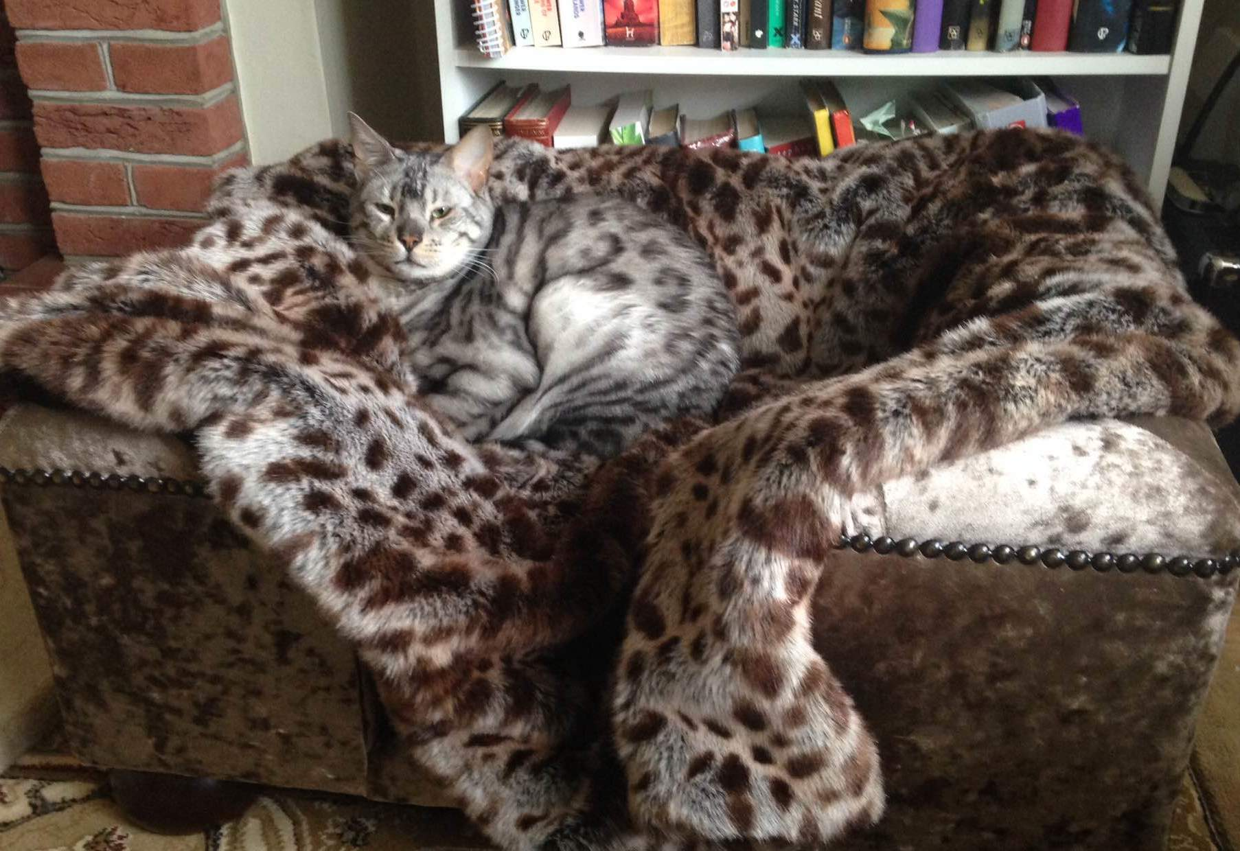 Sandringham Cat Chesterfield Truffle Crushed Velvet