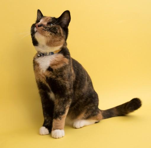 Hiro and Wolf Geo Blue Luxury Cat Collar UK