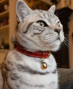 Cheshire and Wain Patent red Christmas Collar red leather cat collar